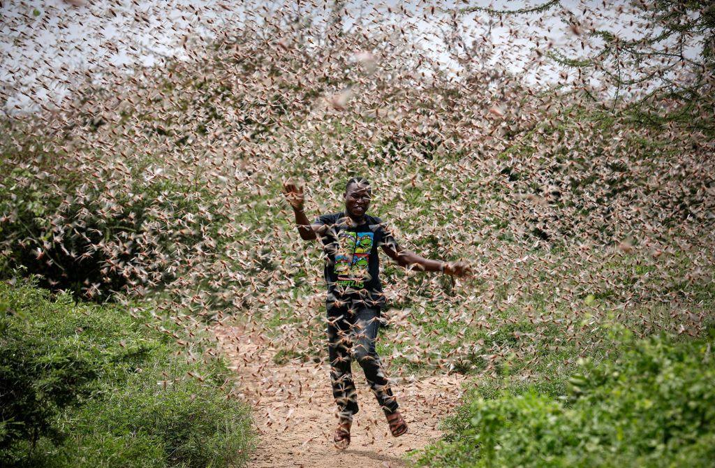 Go to Najezda skakavaca u Africi: gladnima pojedoše sve